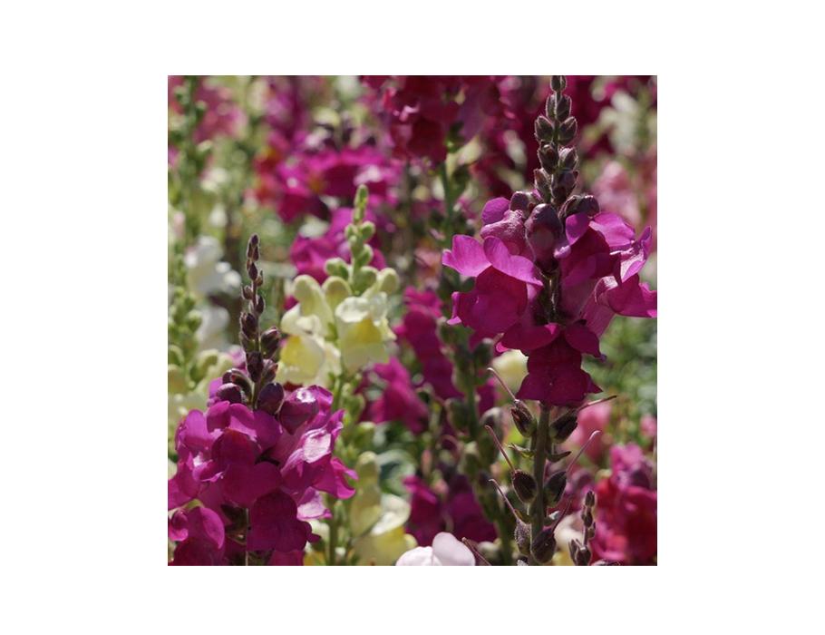 Biologische Bloemen Leeuwenbek