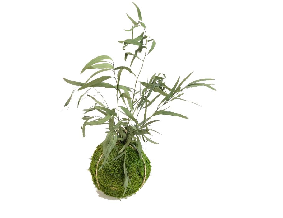 Kokedama  - 8/10 cm -  Eucalyptus Nicoly Vert