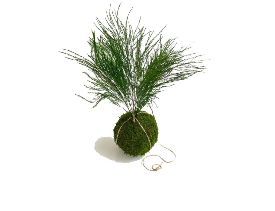 Kokedama  - 13/15 cm -  Tree Fern